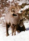 公羊&母羊 图库摄影