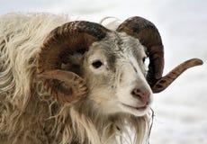公羊 免版税库存照片