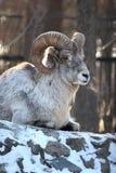 公羊 免版税库存图片