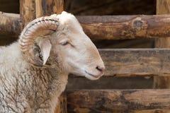 公羊头  免版税库存图片
