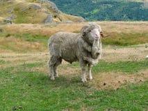 公羊 库存照片