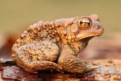 公美国蟾蜍(美洲的Bufo) 免版税库存图片
