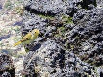 公美洲红树鸣鸟,刚毛虫类petechia aureola,加拉帕戈斯群岛,圣克鲁斯,厄瓜多尔 免版税库存图片