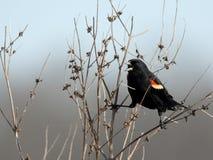 公美洲红翼鸫叫在灌木 库存照片