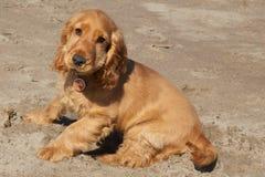 公英国猎犬 免版税库存照片