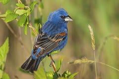 公蓝色蜡嘴鸟(Guiraca caerulea) 免版税图库摄影