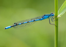 公蓝色蜻蜓:Enallagma cyathigerum 免版税图库摄影