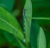 公蓝色蜻蜓 库存图片
