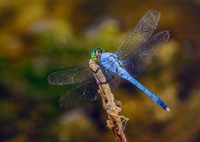 公蓝色dasher Pachydiplax longipennis蜻蜓 图库摄影
