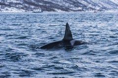公虎鲸挪威 库存照片