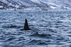 公虎鲸Tromsø飞翅  库存照片
