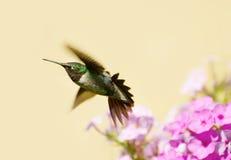 公蜂鸟。 图库摄影