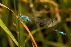 公蜻蜓天蓝色的蜻蜓Coenagrion puella 库存照片