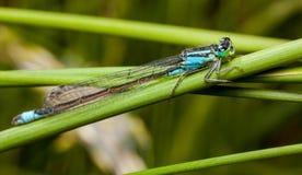 公蜻蜓天蓝色的蜻蜓Coenagrion puella 免版税图库摄影