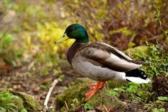 公野鸭鸭子在城市公园 图库摄影