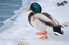 公野鸭鸭子 免版税图库摄影