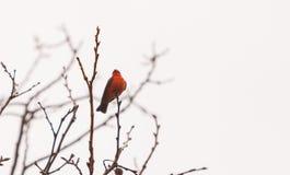 公银朱的捕蝇器鸟 免版税库存照片