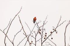 公银朱的捕蝇器鸟 图库摄影