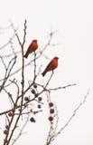 公银朱的捕蝇器鸟 免版税库存图片
