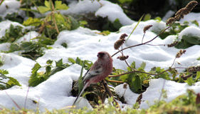 公长尾的鸟红腹灰雀 库存照片