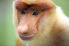 公长鼻猴 免版税库存图片