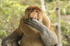 公长鼻猴 库存照片