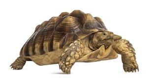公非洲被激励的草龟, Centrochelys sulcata 库存图片