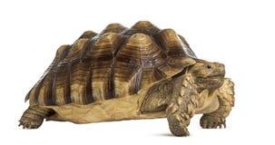 公非洲被激励的草龟, Centrochelys sulcata 库存照片
