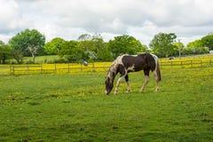 公马在畜栏 库存图片