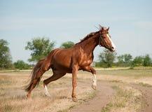 公马奔跑 库存图片