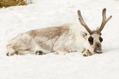 公驯鹿躺下睡着在雪 免版税库存照片