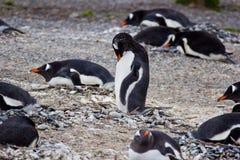 公驴企鹅殖民地在南美洲 免版税图库摄影