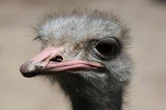 公驼鸟(非洲鸵鸟类骆驼属) 库存图片