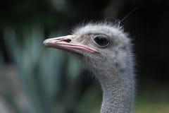 公驼鸟(非洲鸵鸟类骆驼属) 免版税库存图片