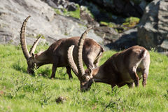 公高地山羊(高地山羊山羊) 免版税库存图片