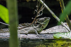 公鲜绿色蛇怪蜥蜴在Puntarenas -哥斯达黎加 免版税库存图片