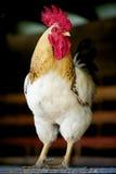 公鸡前面普利茅斯暗礁 免版税图库摄影