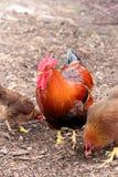 公鸡和母鸡 免版税图库摄影