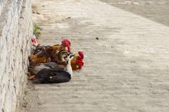 公鸡和鸭子在街道,培拉特,阿尔巴尼亚上 免版税图库摄影