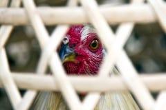 公鸡战斗机 免版税库存照片