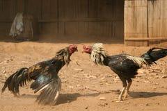 公鸡战斗 免版税库存图片