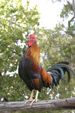 公鸡打鸣 免版税库存图片