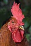 公鸡查出的纵向 库存照片