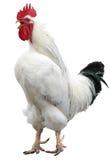 公鸡查出的雄鸡白色 库存图片