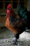 公鸡生产红色雄鸡端 库存照片