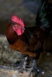 公鸡生产红色雄鸡 免版税库存图片