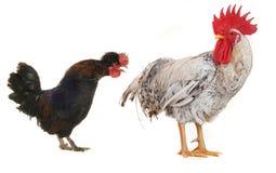 公鸡白色 免版税库存图片