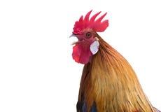 公鸡的图象 免版税库存图片