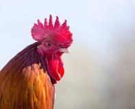 公鸡的纵向 免版税图库摄影