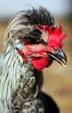公鸡纵向年轻人 库存照片